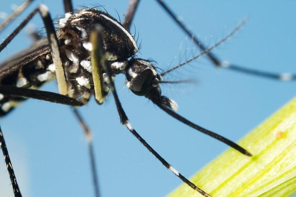 יתוש טיגריס אסיאתי (צילום: shutterstock)