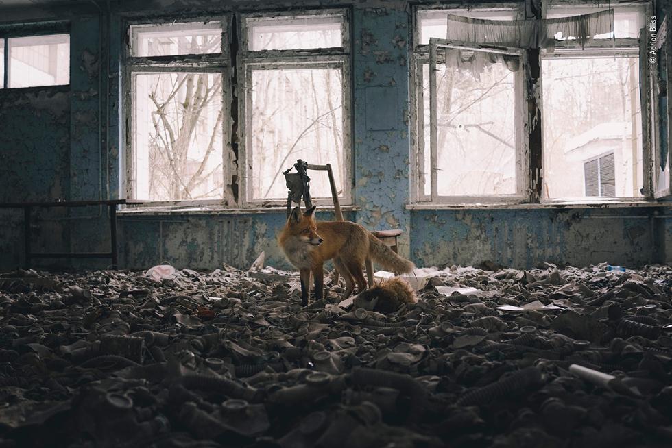 שועל במבנה נטוש (צילום: ©  Adrian Bliss - Wildlife Photographer of the Year 2018)