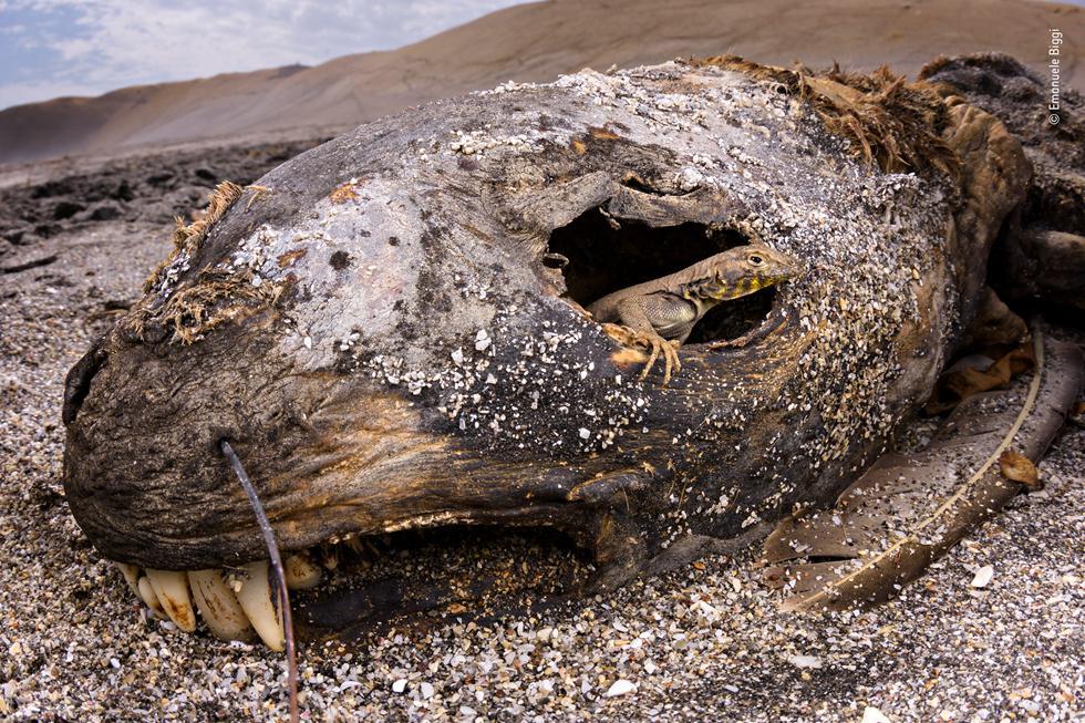 לטאה מציצה משלד של צב ים (צילום: ©  Emanuele Biggi  - Wildlife Photographer of the Year 2018)
