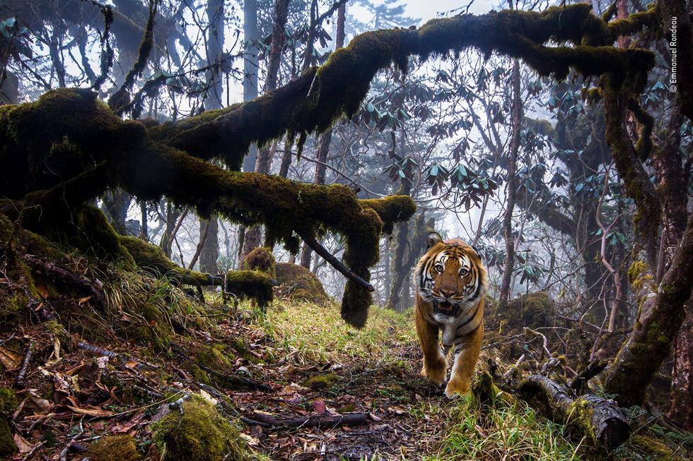 טיגריס בנגלי בהימלאיה (צילום: ©   Emmanuel Rondeau - Wildlife Photographer of the Year 2018)