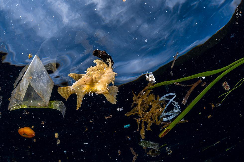 דג סרגוסום שוחה בים לצד אשפה (צילום: ©  Greg Lecoeur - Wildlife Photographer of the Year 2018)