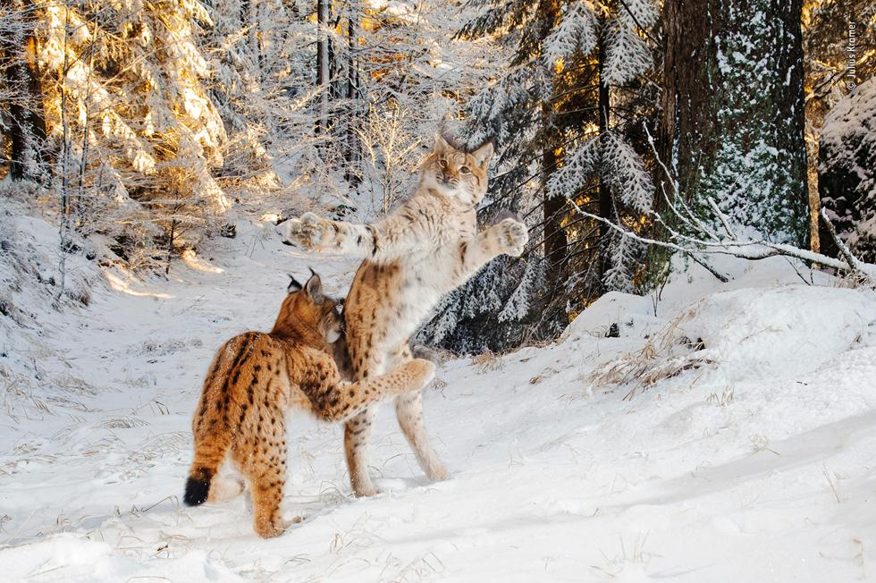 שני שונרים נאבקים בשלג בגרמניה (צילום: ©   Julius Kramer  - Wildlife Photographer of the Year 2018)