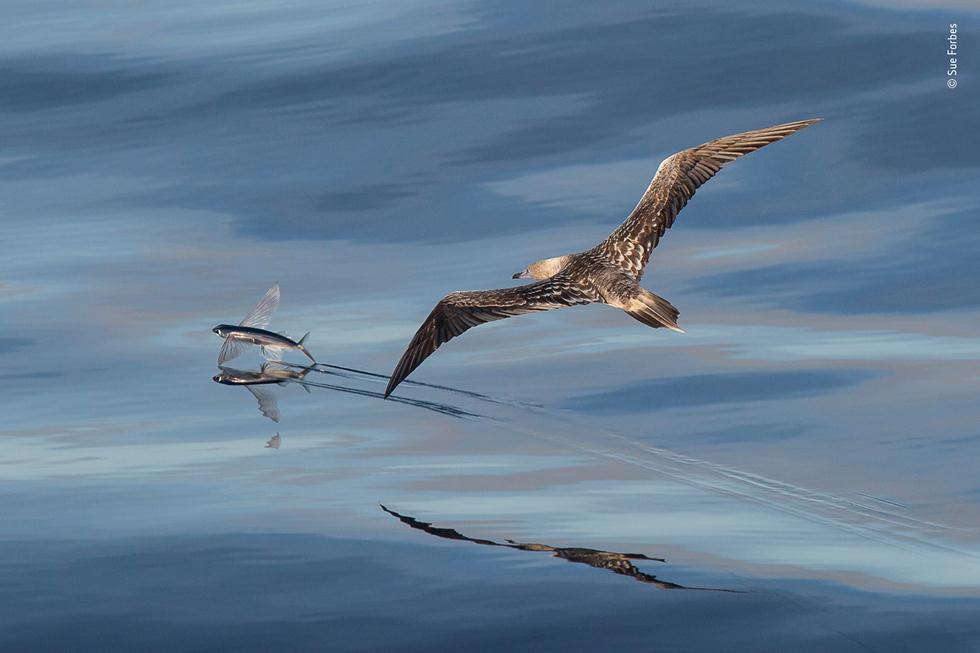 סולה אדומת רגל בציד ימי (צילום: ©   Sue Forbes - Wildlife Photographer of the Year 2018)