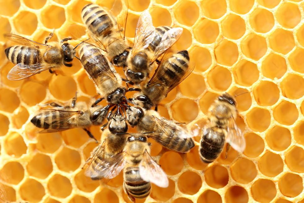 דבורים במעגל (צילום: shutterstock)
