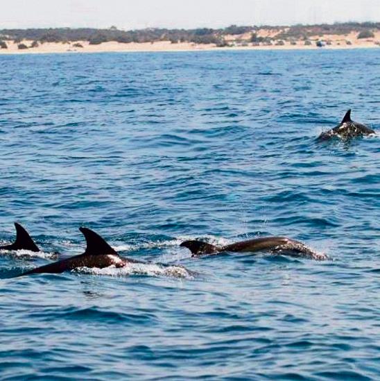 להקת הדולפינים המצויים שחיה בשמורה החדשה