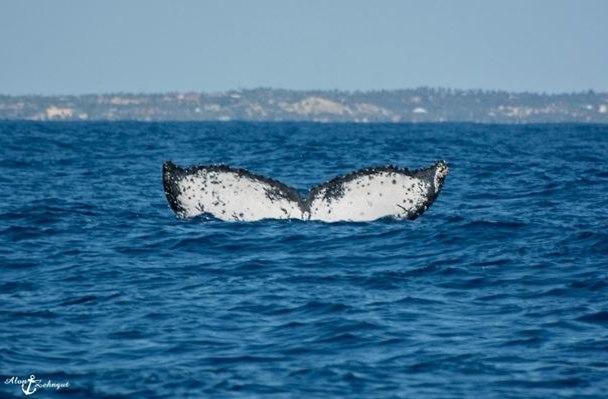 זנב לווייתן, רגע לפני צלילה (צילום: אלון צנגוט)