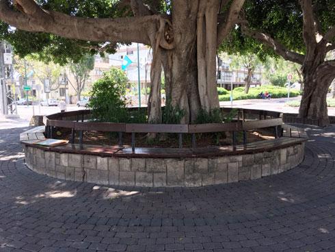 עצי השקמים הם נכס מרכזי בכיכר, וצריך היה פשוט לטפל בהם ובסביבתם (צילום: משרד נחלת הכלל)