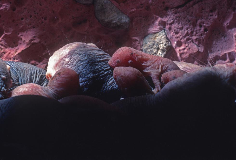 חולד עירום (צילום: shutterstock)