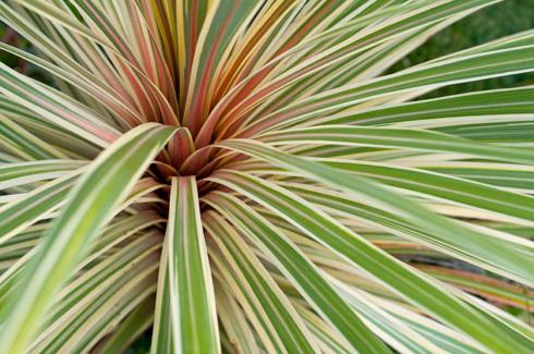 פורמיון חסון – דורש תחזוקה מועטה ועמיד לקור (צילום: Shutterstock)