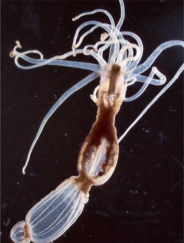 שושנת הים Nematostella. מורכבות מפתיעה (צילום: באדיבות מכון ויצמן למדע)
