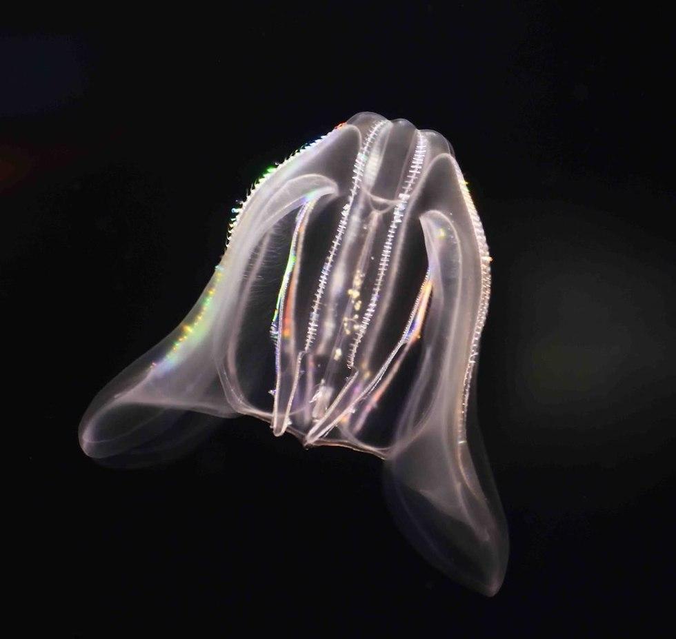 המסרקן M. leidyi. מכונה