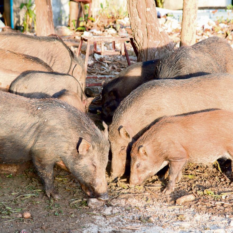 חזירים ותרנגולות מוחזקים יחד בסין. נגיף השפעת עובר מוטציות בעופות, ואלה מאפשרות לו לעבור בקלות מאדם לאדם