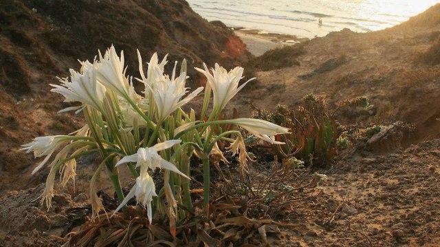 חבצלת החוף על רכס הכורכר הצפון-מערבי בתל אביב (צילום: טליה לביא, ויקיפדיה)