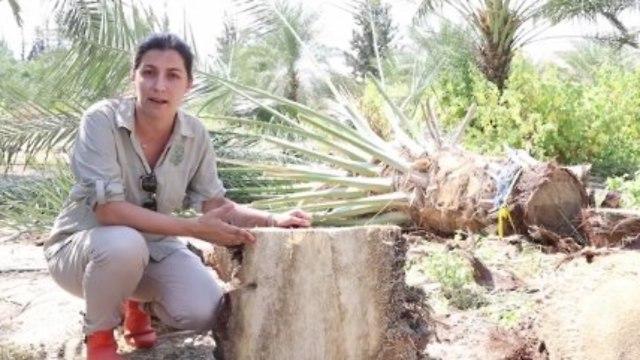 דנה מנט, פתולוגית חרקים במכון וולקני (צילום: אלעד גרשגורן)