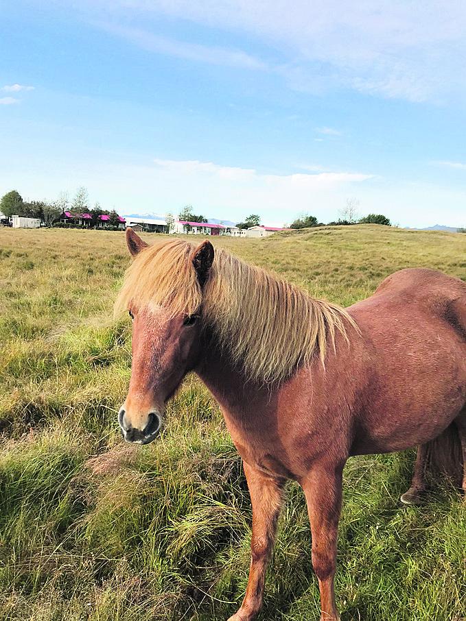 אחד מענפי הייצוא של המדינה. סוסים באיסלנד
