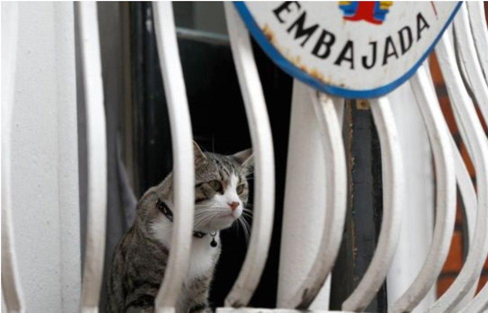 החתול של ג'וליאן אסאנג' שגרירות אקוודור ב לונדון בריטניה (צילום: רויטרס)