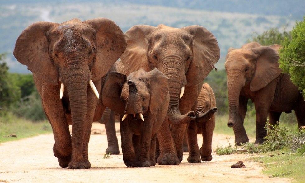 חטי פילים (צילום: shutterstock)