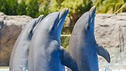 דולפינים. צילום: shutterstock