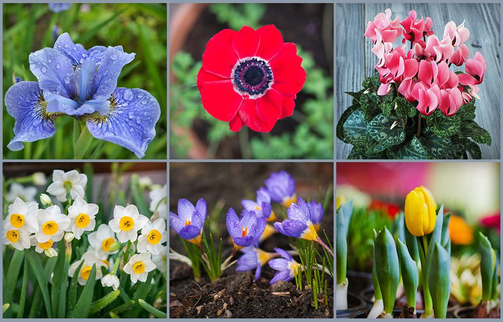כדי לייצר רצף פריחות כדאי לשתול קודם את הפקעות שהפריחה שלהן מקדימה (צילום: Shutterstock)