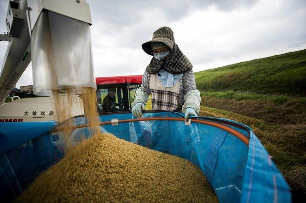 חקלאים שדות אורז יפן (צילום: AFP)