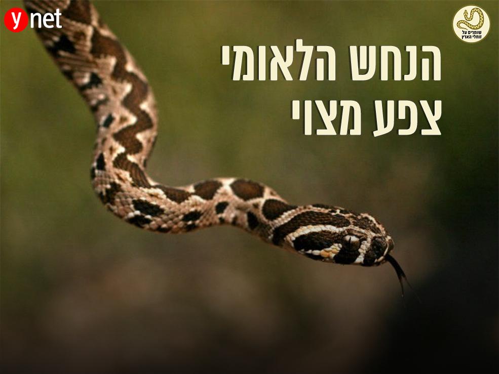 הנחש הלאומי של ישראל (צילום: גיא חיימוביץ')