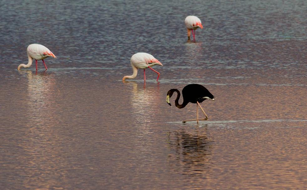 פלמינגו שחור בבריכות המלח בעברונה ב-2014 (צילום: דורון ניסים, רשות הטבע והגנים)