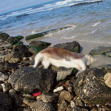"""""""זה מצמרר, לשבת בחוף הים ופתאום לראות את זה"""". פגר של עגל נשטף אל החוף בישראל   צילום: """"ישראל נגד משולחים חיים"""""""