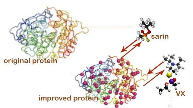 החוקרים התמקדו באנזים שמפרק מולקולות של גז עצבים, דוגמת סארין ו-VX. הגרסה שיצרו מציגה שיפור של עד פי 4,000 ביעילות האנזים (צילום: מסע הקסם המדעי, מכון ויצמן)