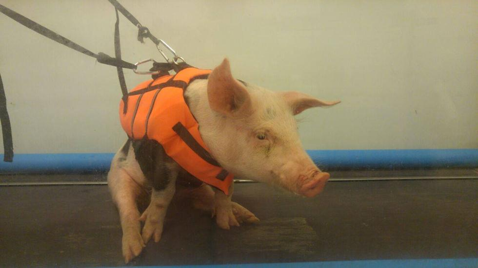 אוקצ'ה החזיר (צילום: תנו לחיות לחיות)