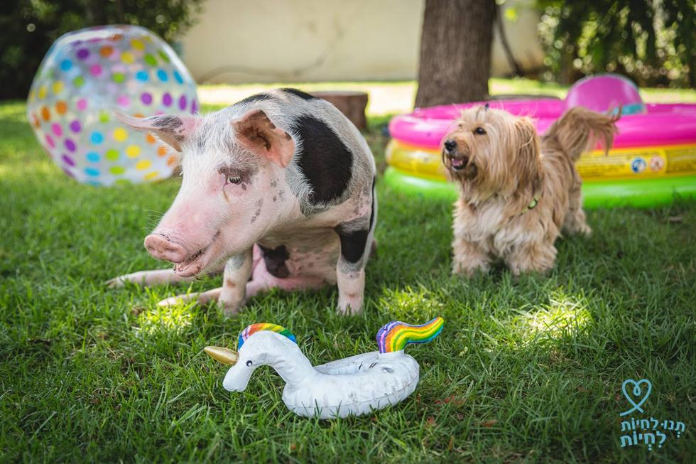אוקצ'ה החזיר (צילום: רויטל טופיול, תנו לחיות לחיות)