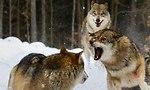 להקת זאבים (צילום: shutterstock)