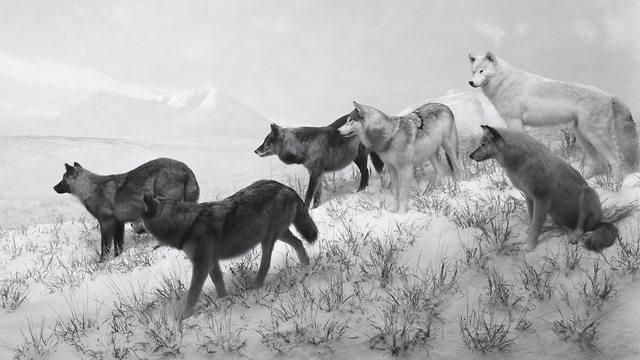 Alaskan Wolves, 1994, gelatin silver print, (צילום: הירושי סוגימוטו)