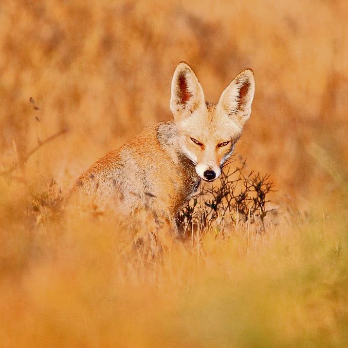 A fox (Photo: Erez Amir)