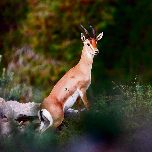 A Gazelle roaming the outskirts of Jerusalem.