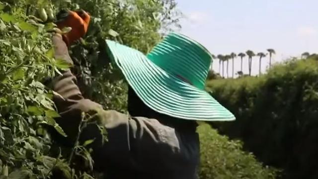 Thai workers on Israeli farms