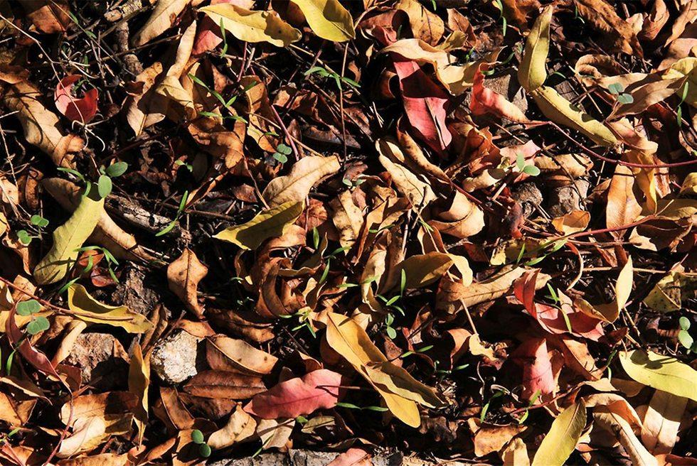 עלים שנשרו מאלה ארצישראלית ביער צרעה (צילום: יעקב שקולניק, ארכיון הצילומים של קק