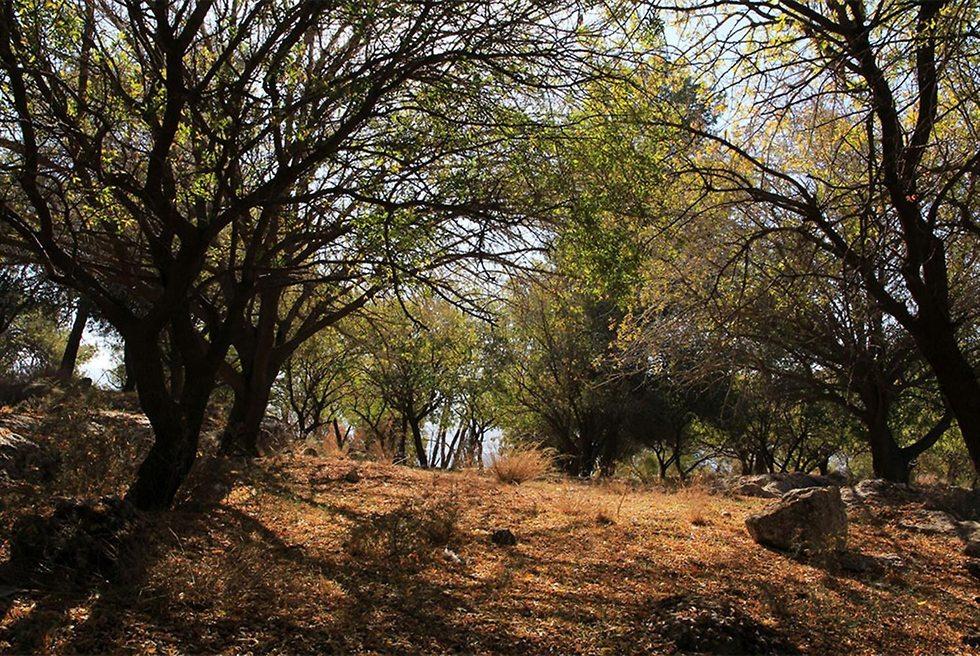 חורשת אלה ארצישראלית ביער צרעה (צילום: יעקב שקולניק, ארכיון הצילומים של קק