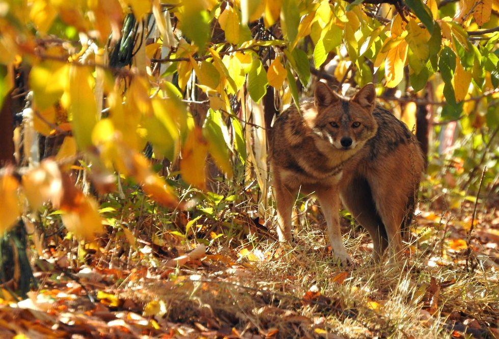 תן מסתתר בשלכת בגולן (צילום: רינה נגילה)