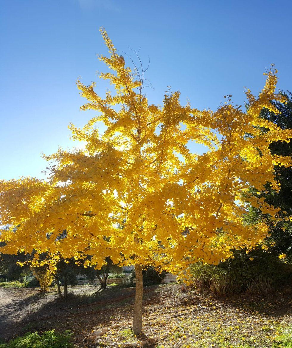 עץ גינקו בגן הבוטני האוניברסיטאי (צילום: תום עמית)
