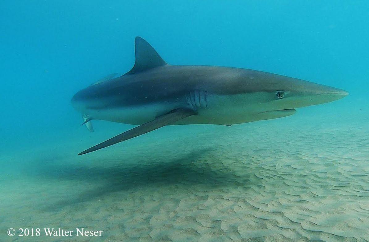 Акулы у побережья Хадеры. Фото: Уолтер Нецер