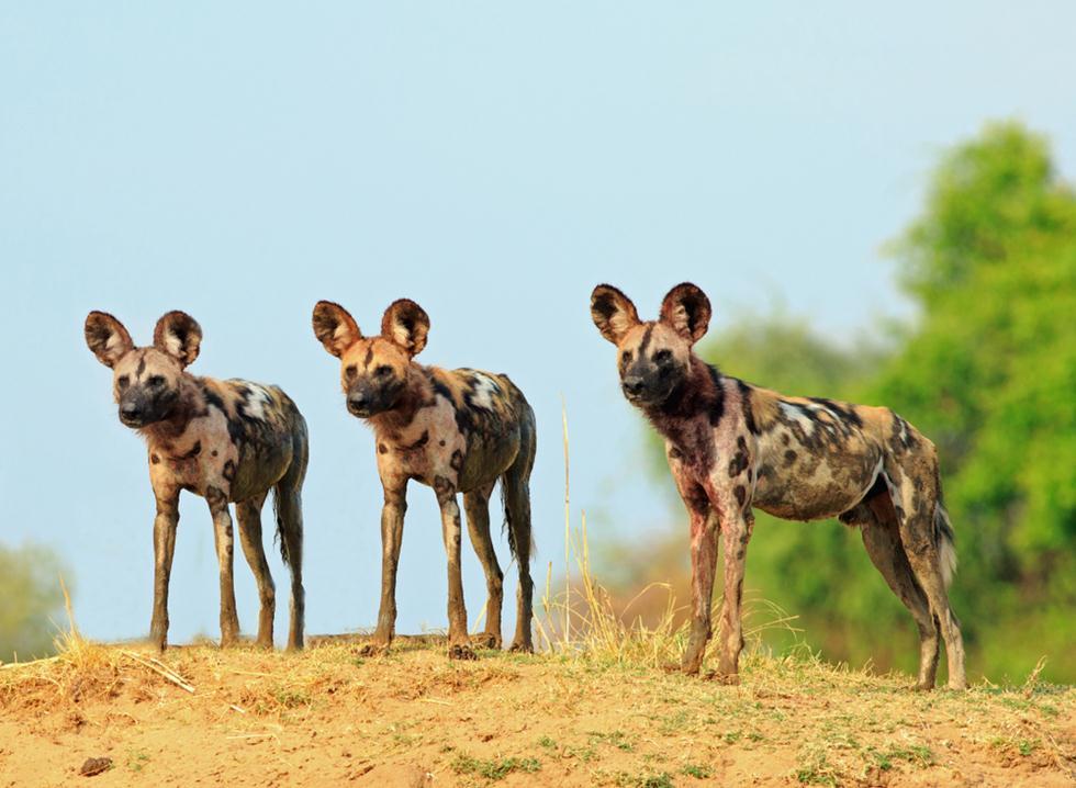 זאבים טלואים באפריקה (צילום: shutterstock)