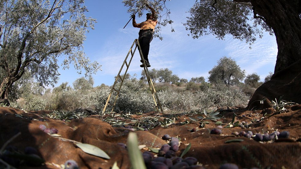 Palestinian farmer collects olives (file photo) (Photo: EPA)