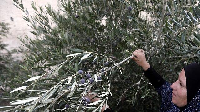 Palestinian woman picks olives (file photo) (Photo: EPA)