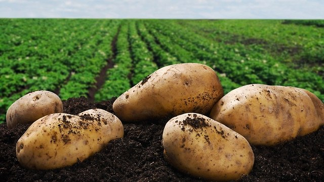 תפוחי אדמה בשדה (צילום: shutterstock)