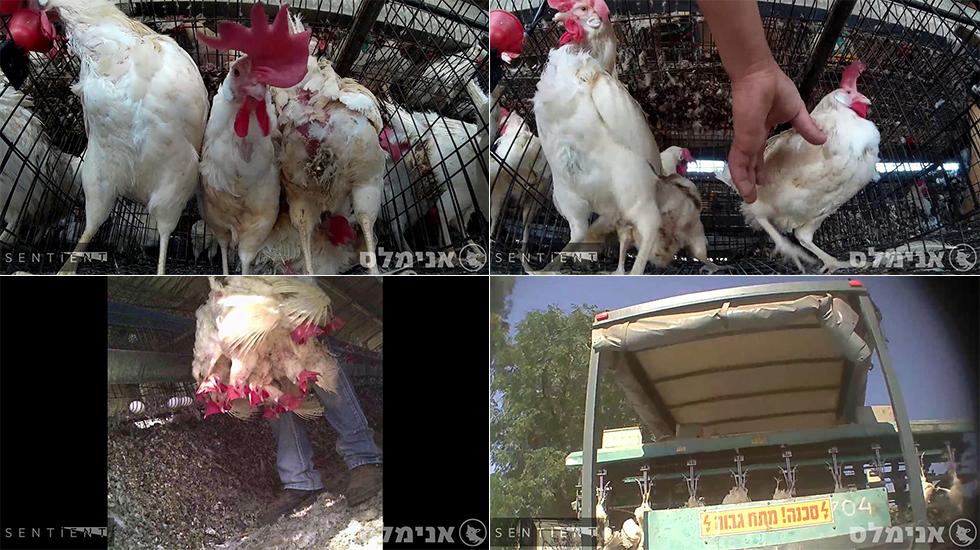 מתוך תיעוד התרנגולות בלולים (צילום: צוות החקירות של עמותת אנימלס (לשעבר אנונימוס) ועמותת סנטיאנט)