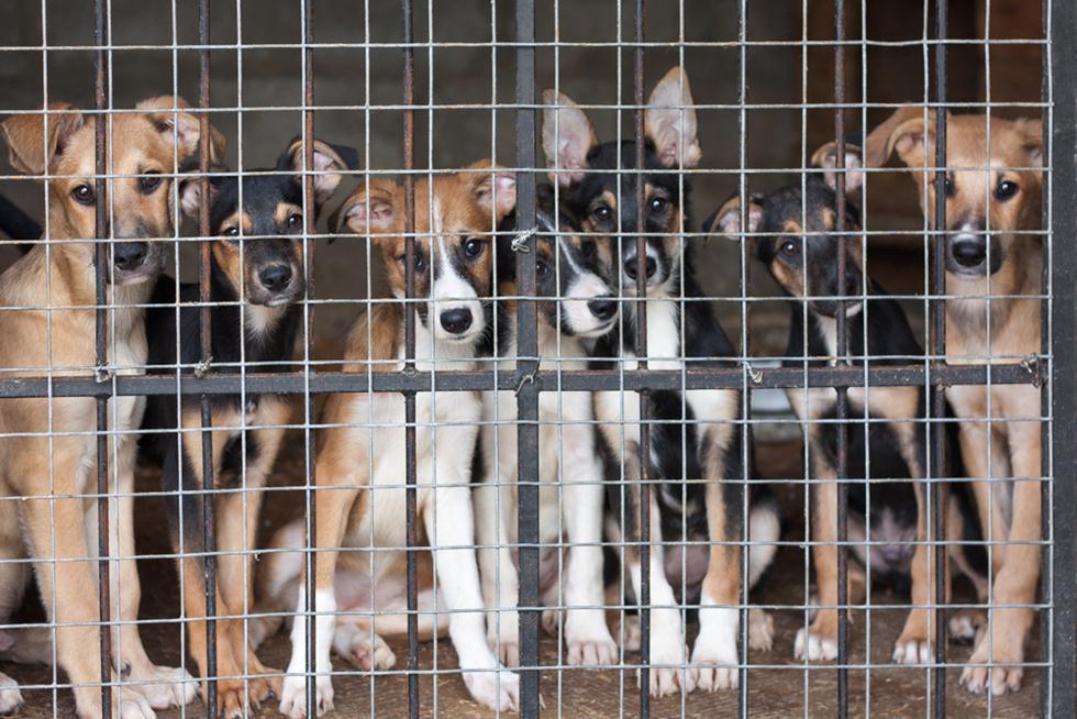 כלבים במכלאה (צילום: shutterstock)