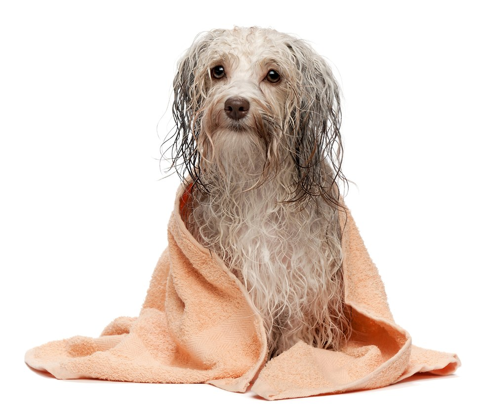 כלב רטוב (צילום: shutterstock)