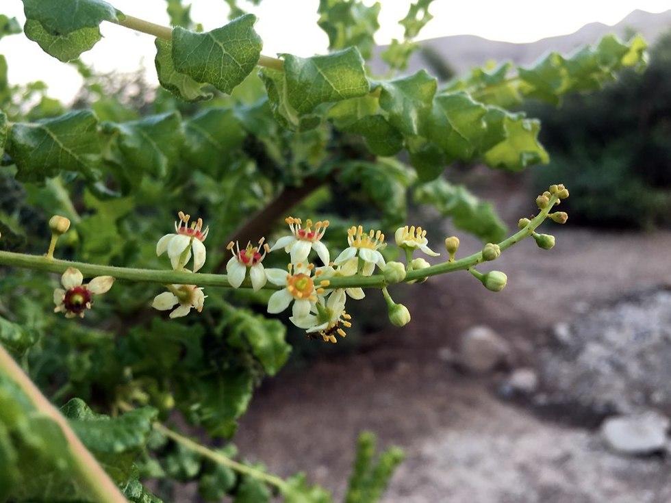 פריחת לבונת הקטורת בחוות האפרסמון (צילום: גלעד כרמלי)