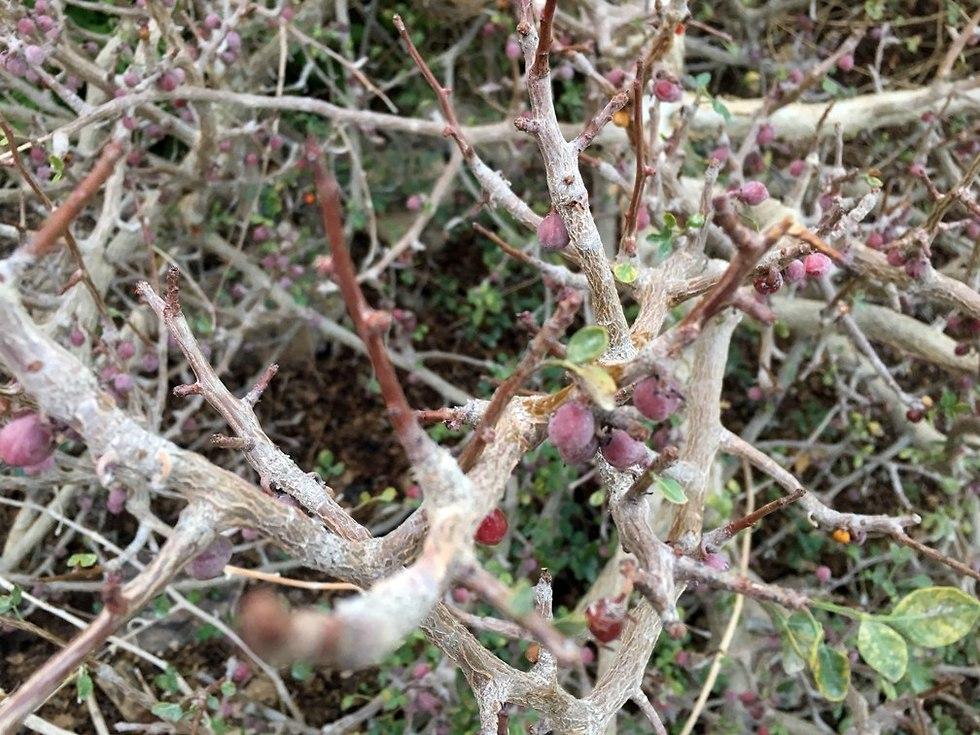 צמח אפרסמון בחוות האפרסמון (צילום: גלעד כרמלי)