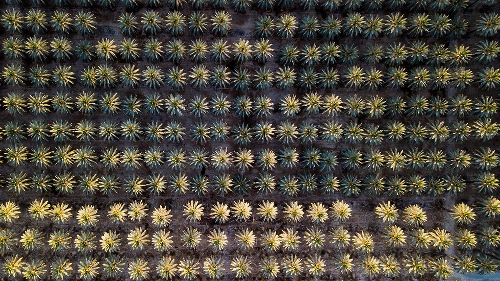 עצי תמר בים המלח (צילום: אריק דנינו)